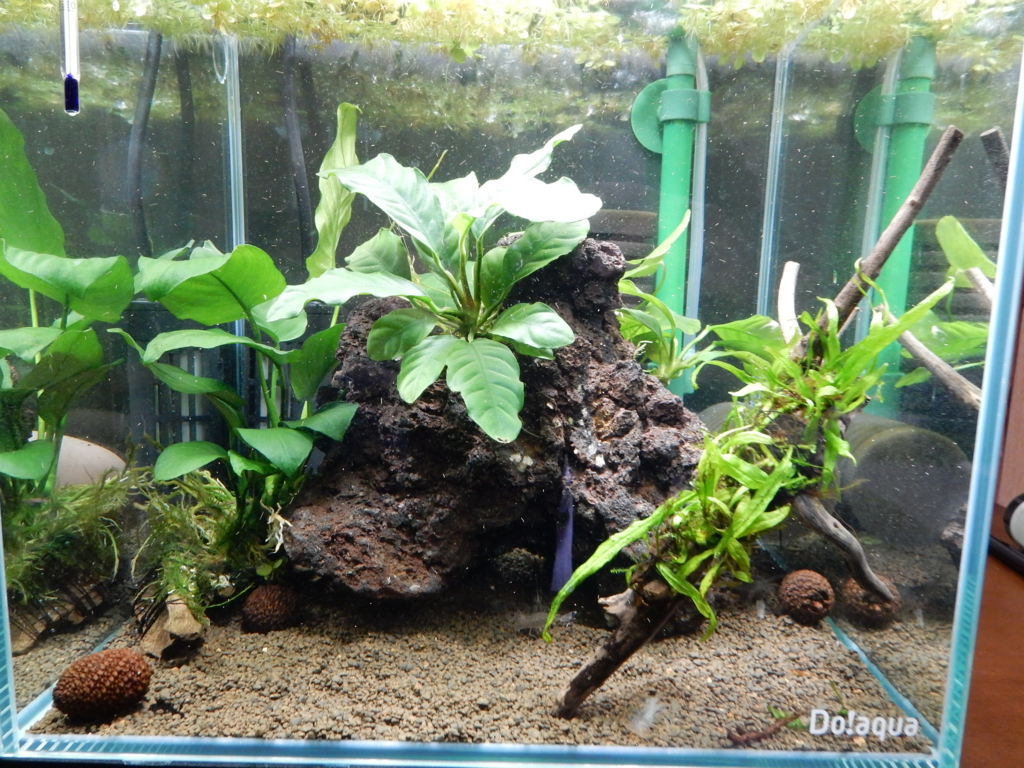 f:id:aquaticplants:20160128185423j:plain