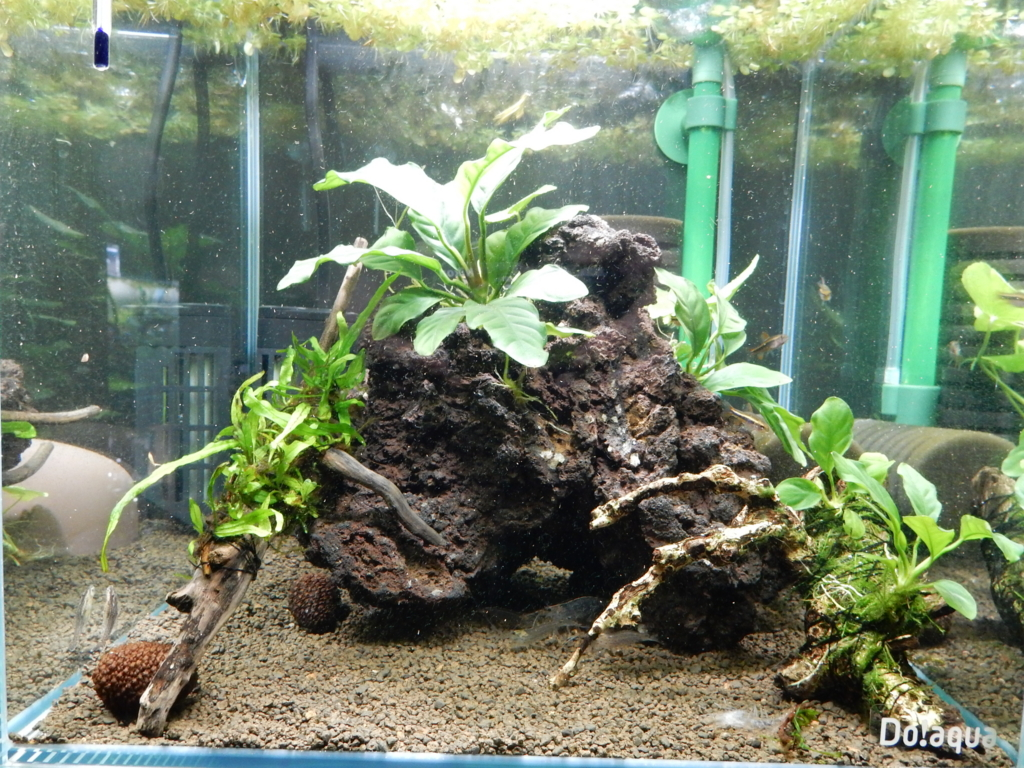 f:id:aquaticplants:20160128185426j:plain