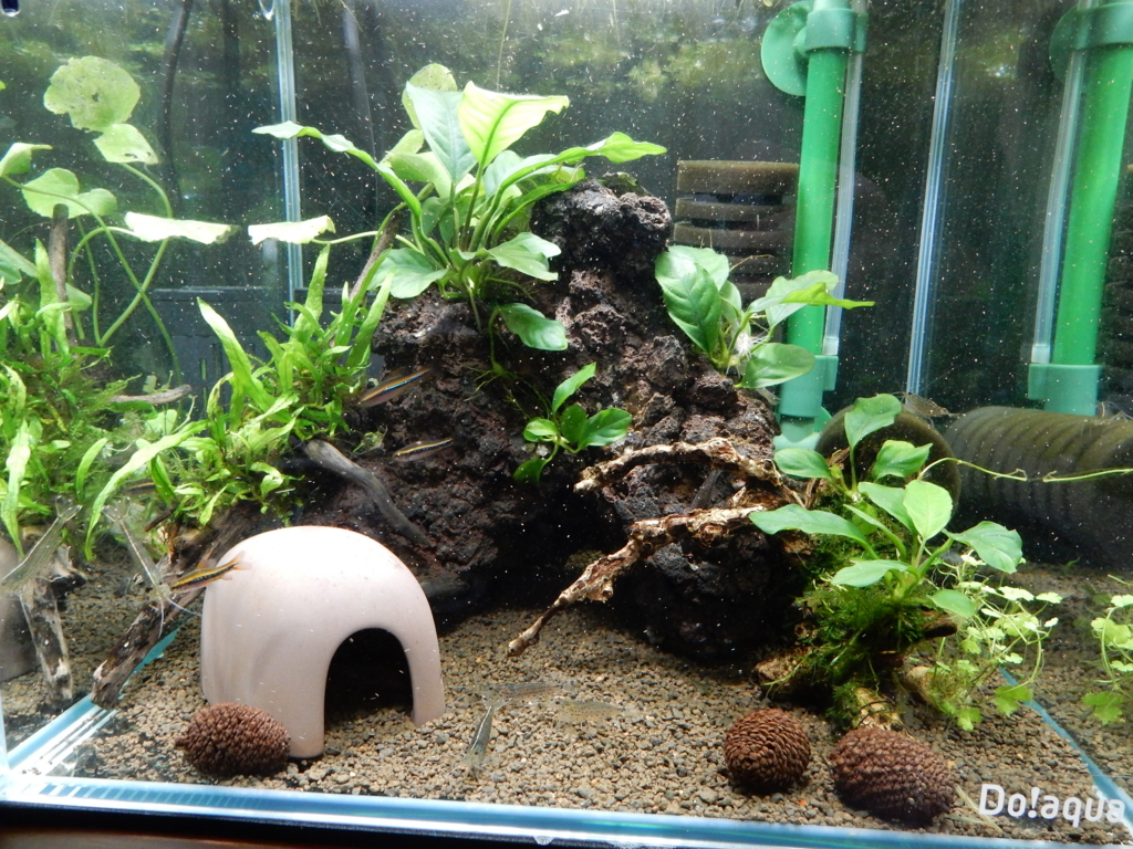 f:id:aquaticplants:20160213204748j:plain