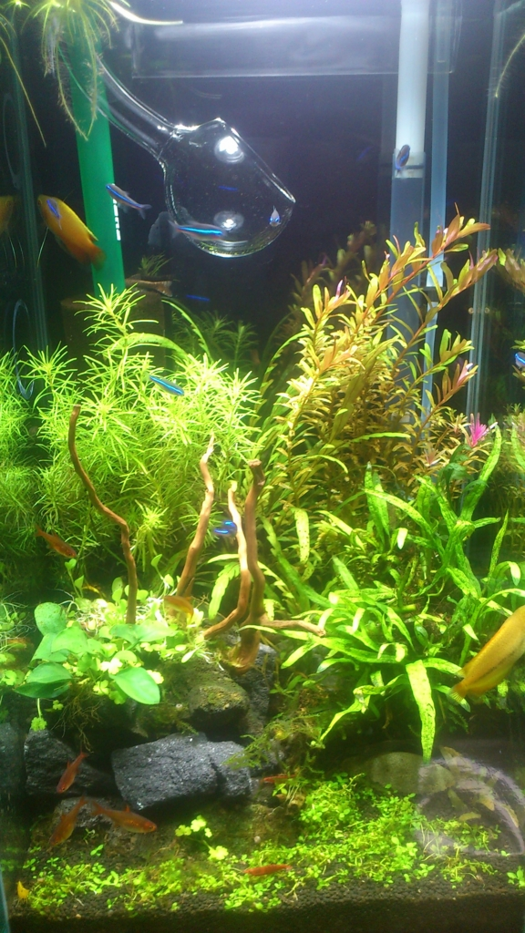 f:id:aquaticplants:20160214212613j:plain