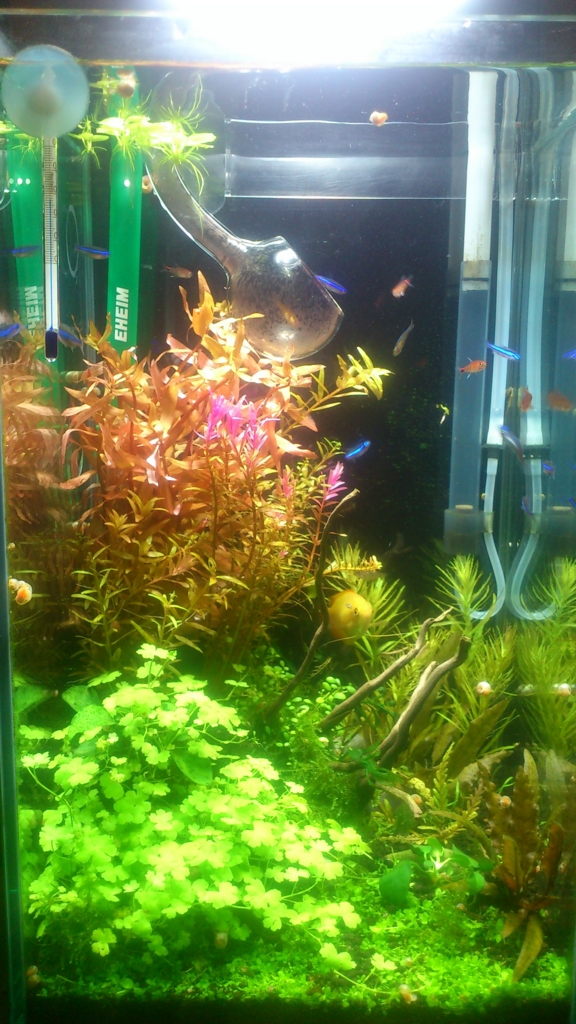 f:id:aquaticplants:20160214212740j:plain