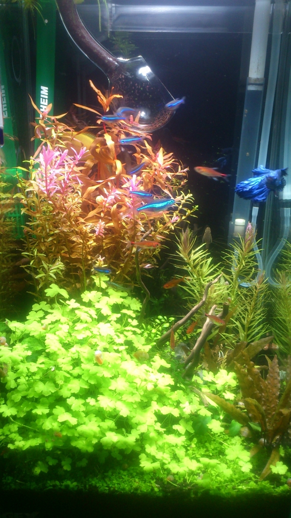 f:id:aquaticplants:20160214212758j:plain