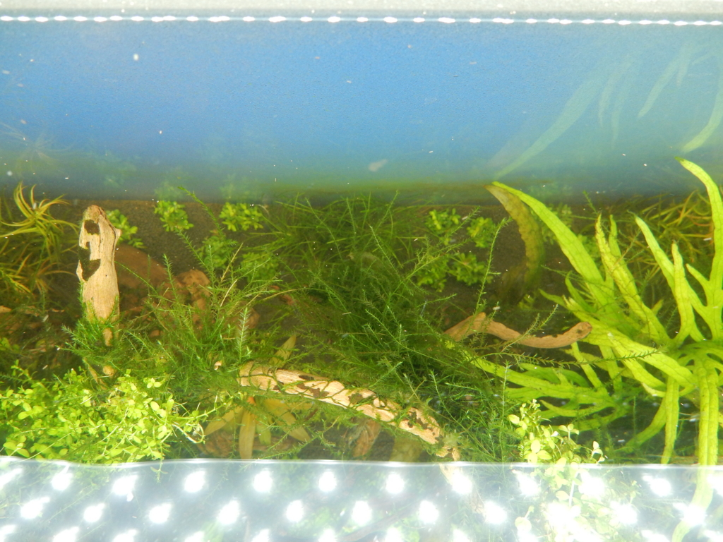 f:id:aquaticplants:20160306163152j:plain