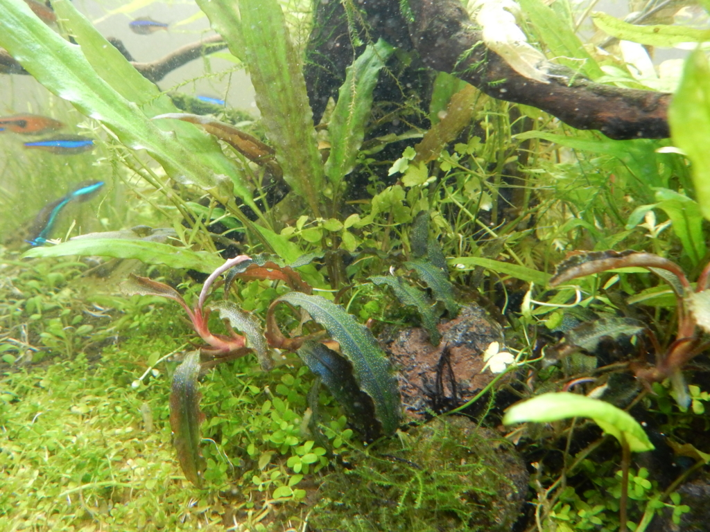 f:id:aquaticplants:20160313194401j:plain