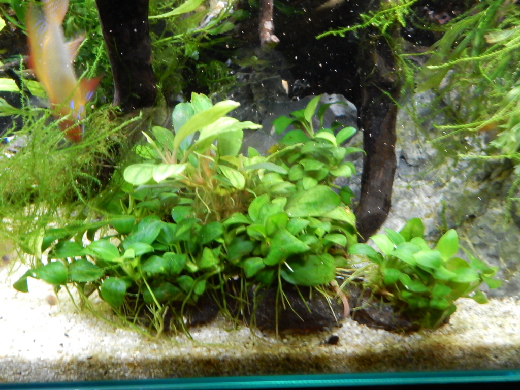 f:id:aquaticplants:20160315013647j:plain