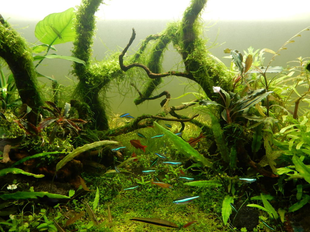 f:id:aquaticplants:20160320181857j:plain