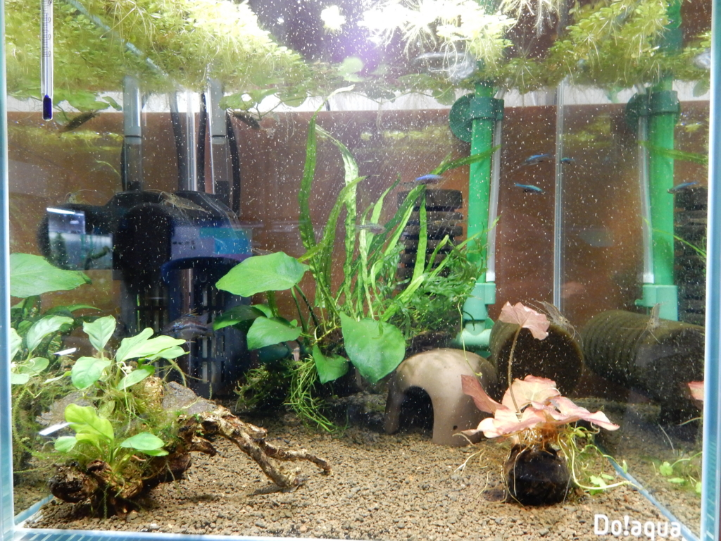 f:id:aquaticplants:20160502212755j:plain