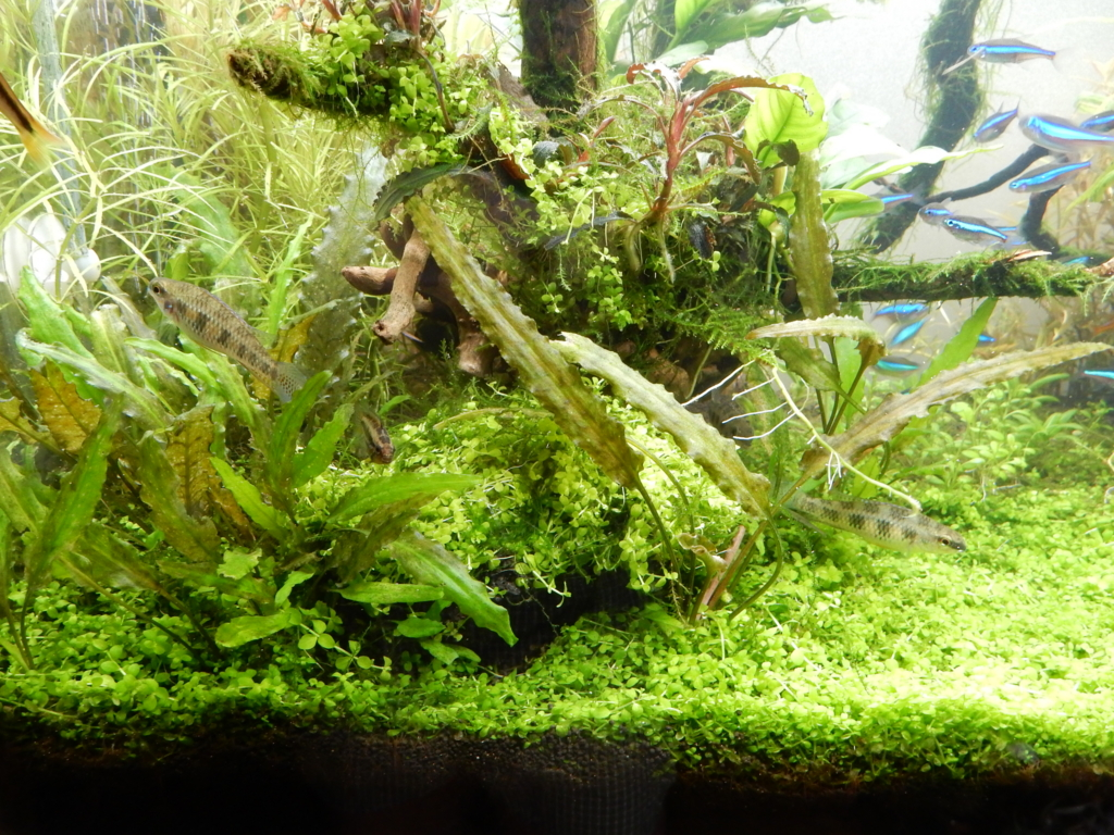 f:id:aquaticplants:20160526183820j:plain