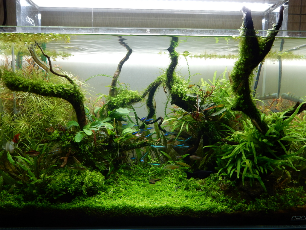 f:id:aquaticplants:20160531175928j:plain