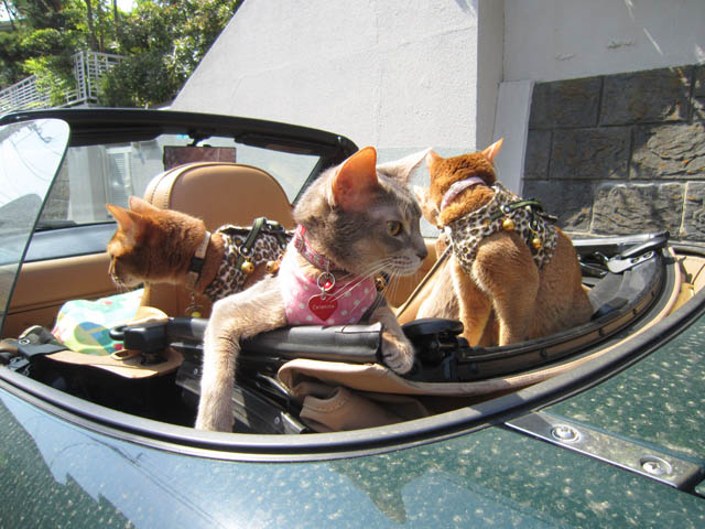 Abyssinian Sisters, #3650