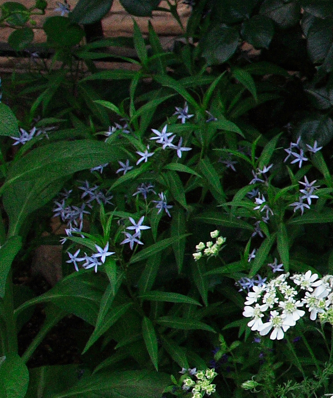 amsonia_elliptica