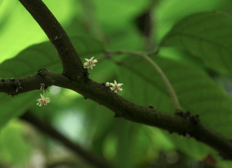 theobroma_cacao_flower
