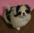 puppy ruby at 3-mth-old... she was born in dec 07. #japanesechin 子狆時 代は短かったの