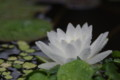 Nymphaea 'Perry's Double White'  ペリーズ・ダブル・ホワイト