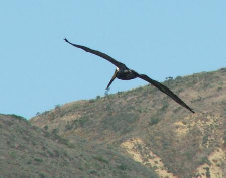 Brown Pelican(カッショクペリカン)