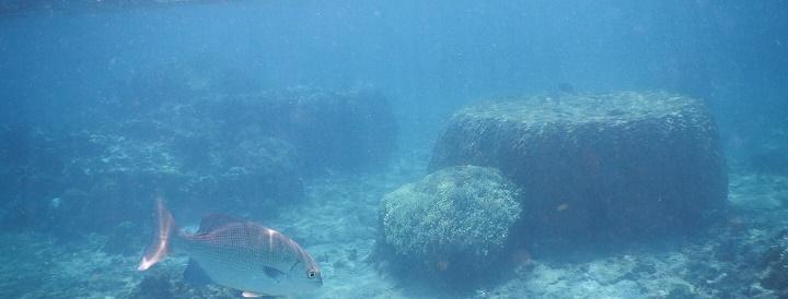 吉野海岸の海中でみた鯛