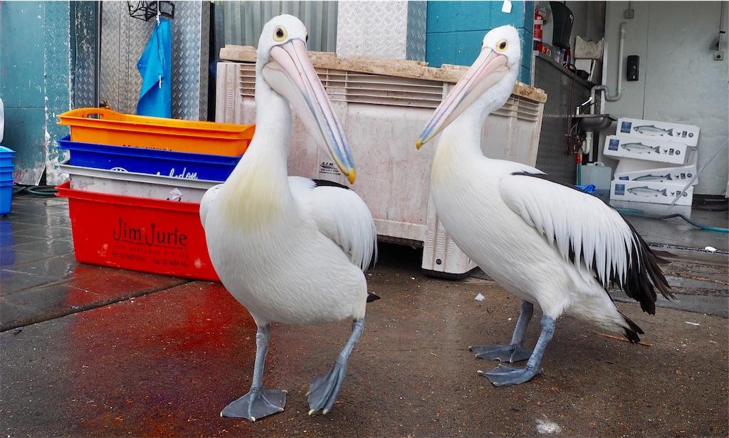 シドニーの市場のペリカン