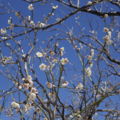 大磯 地福寺の梅