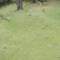 ムクドリと桜の実 団地