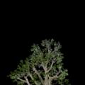 津田沼 ムクドリの木