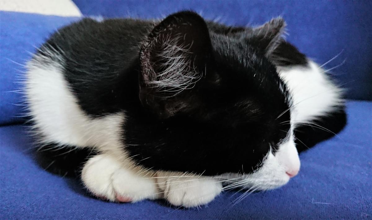 ベンヤ 猫