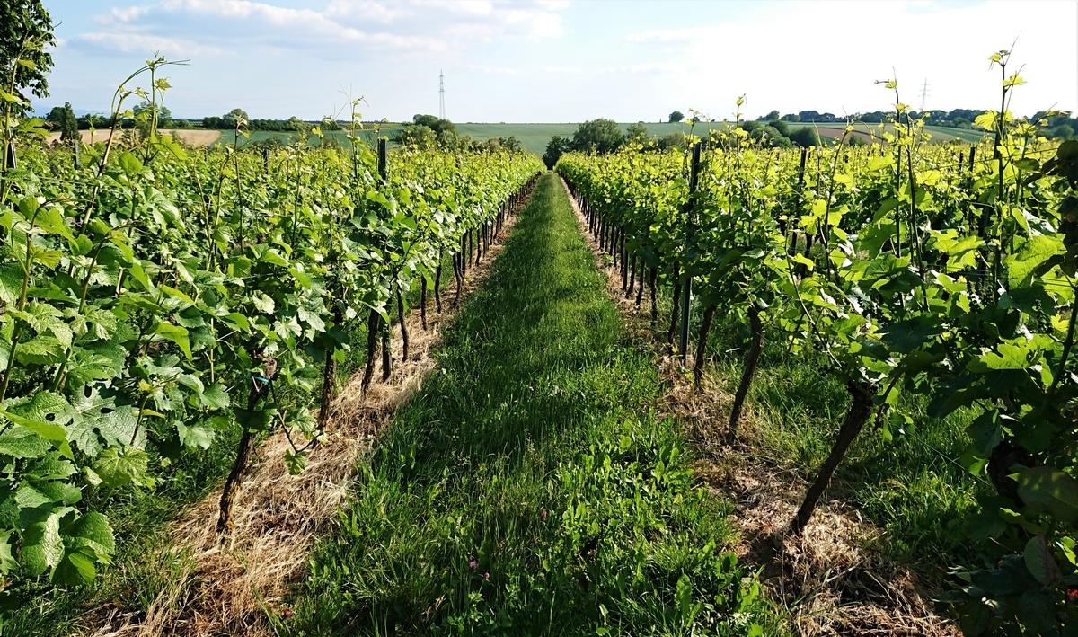 ドイツ ワイン街道 ワイン畑