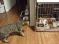 先住猫のジェイ君とご対面中のサリー