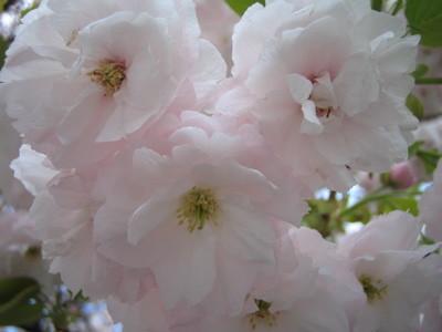 桜新町の桜2