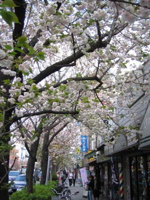 桜新町の桜1
