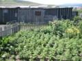 民家のジャガイモ畑