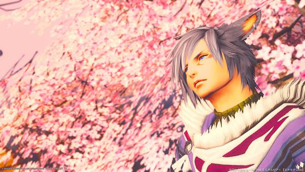 桜を背景に空を見上げるイケメンミコッテ。(FF14)