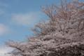[京都][桜][神社]