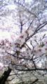 [風景]桜