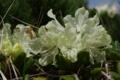 [花]キバナシャクナゲ