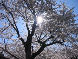 2008桜2
