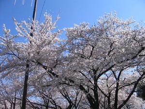 2008桜1