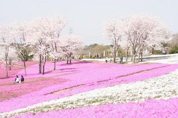 20080406-芝桜