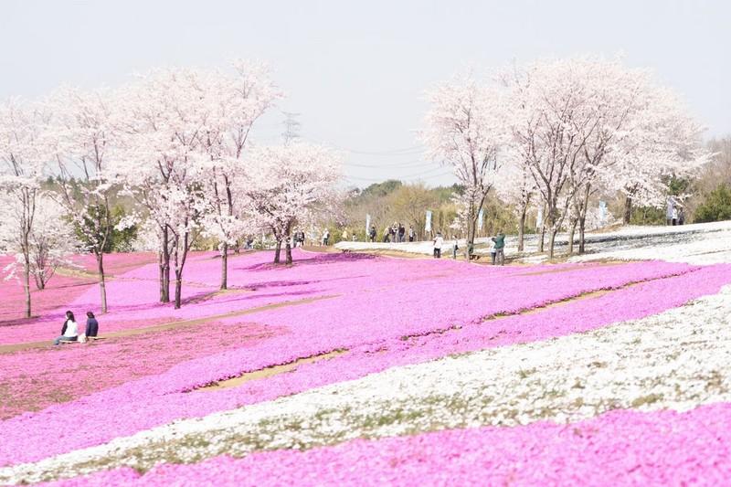 20080406-芝桜(大)