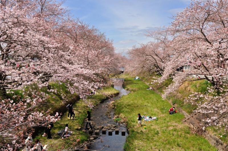 京都新聞写真コンテスト 玉川の桜
