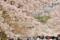京都新聞写真コンテスト 醍醐の桜見物