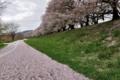 京都新聞写真コンテスト 桜色の道