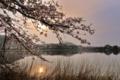 京都新聞写真コンテスト 広沢池の桜