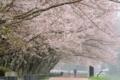京都新聞写真コンテスト 桜咲く道