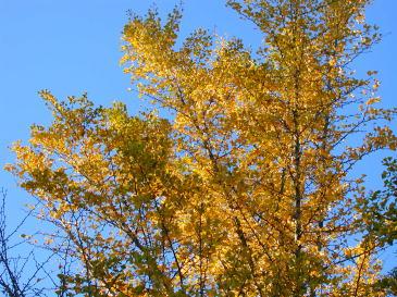晩秋・黄色く色づいたイチョウ