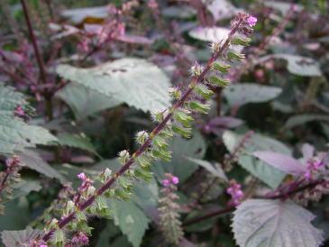 穂先に僅かに花が咲き残った摘み頃の穂紫蘇
