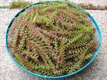 収穫した穂紫蘇