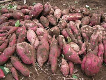 家の畑で栽培したサツマイモ(紅あずま)