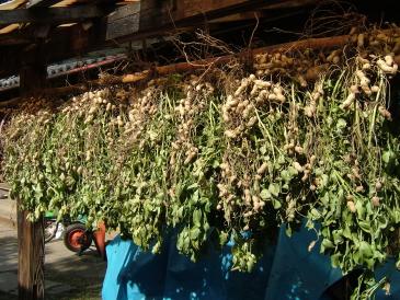 収穫した落花生を車庫の軒下で天日干し