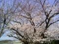 [地方]団地ゴミ集積所付近の桜(1)