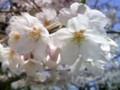 [地方]団地ゴミ集積所付近の桜(2)